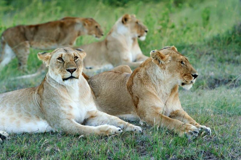 Download львев стоковое изображение. изображение насчитывающей львев - 40583935