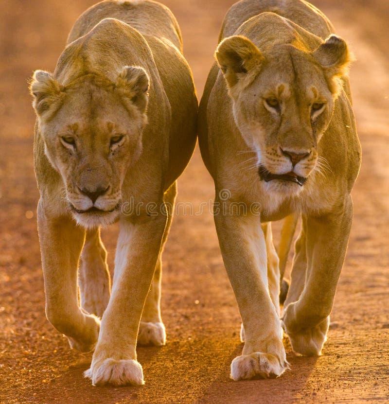 2 львицы идя на дорогу в национальном парке Кения Танзания Maasai Mara serengeti стоковые изображения