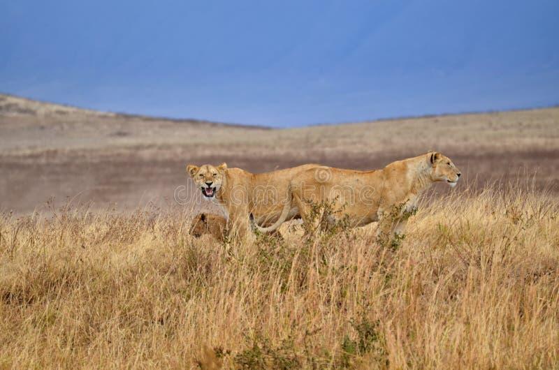 2 львицы с детенышами стоковые фотографии rf