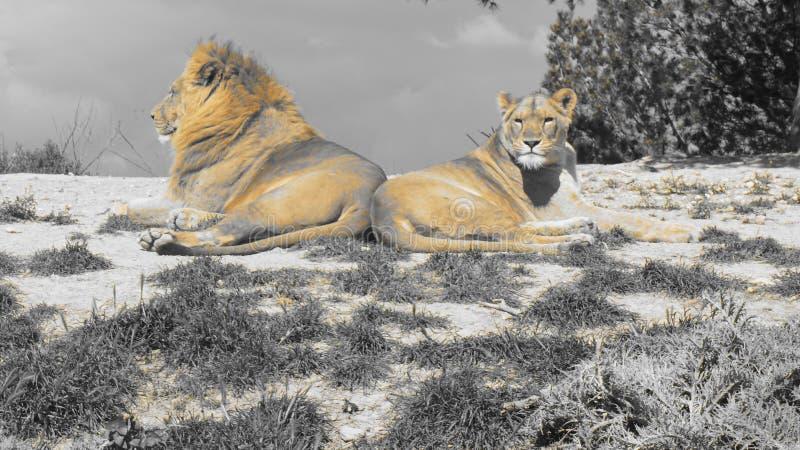 львы стоковое фото