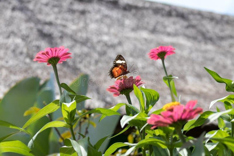 Экзотическая бабочка на цветках, красивая бабочка и цветок в саде тропического острова Бали Закройте вверх по бабочке дальше стоковые фото