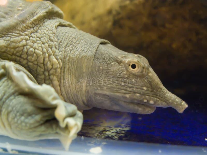 экзотическая пропущенная черепаха terrariume стоковое изображение