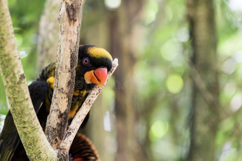 Экзотическая черная и оранжевая птица попугая пряча на ветвях дерева стоковые фото