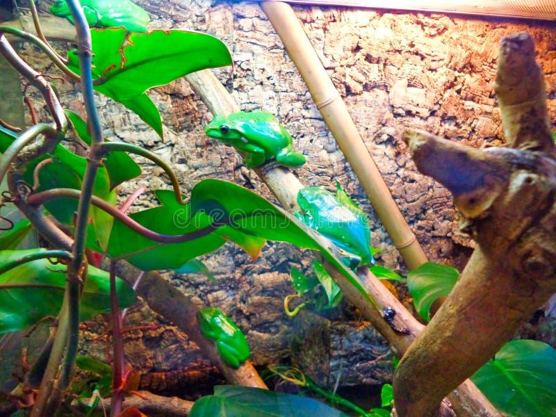 Экзотические зеленые лягушки сидя на ветвях заводов стоковые изображения rf