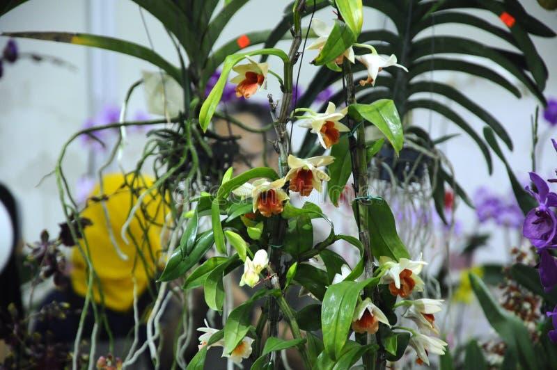 Экзотические орхидеи цветут внутри крытого питомника стоковое фото rf