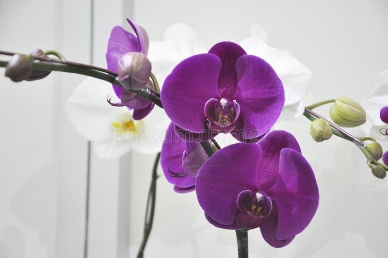 Экзотические орхидеи цветут внутри крытого питомника стоковая фотография rf
