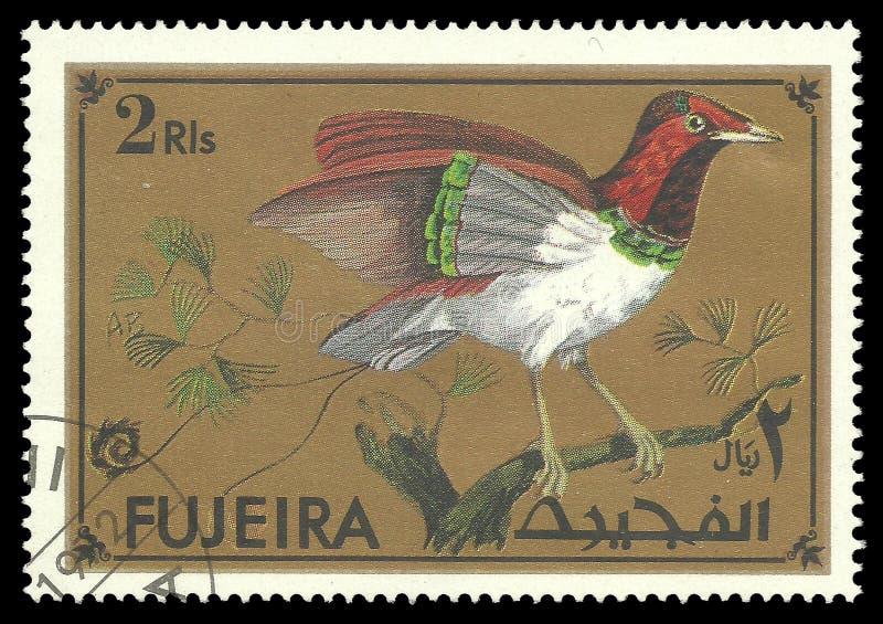 Экзотические птицы, король райская птица стоковые фотографии rf