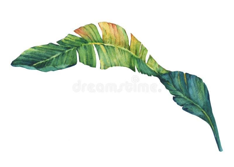 Экзотические тропические листья банана иллюстрация вектора