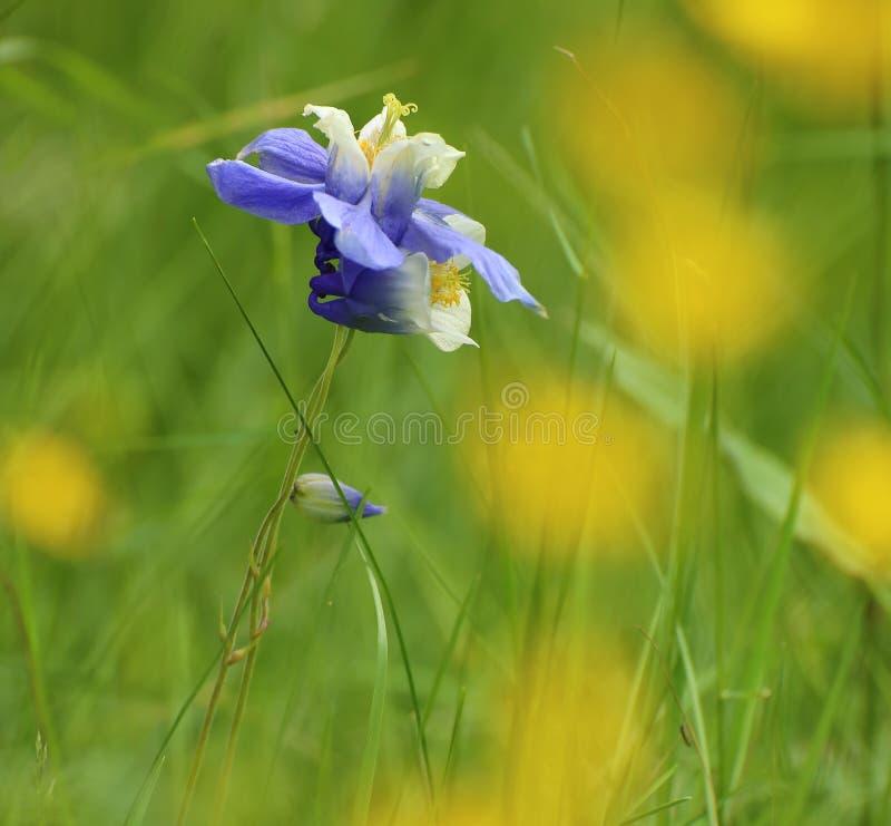 Экзотические цветения европейское columbine (Aquilegia vulgaris) стоковые фото