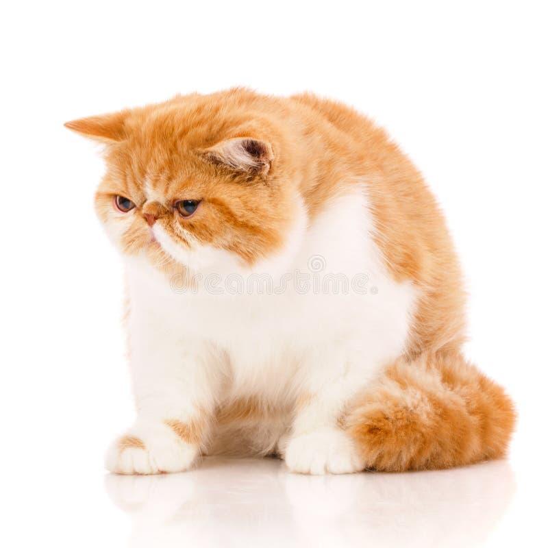 Экзотический кот shorthair, сидя стоковые фотографии rf
