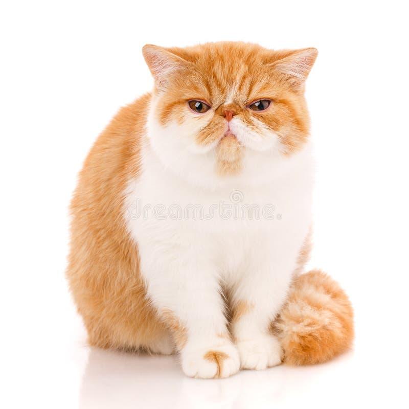 Экзотический кот shorthair, сидя стоковое фото rf