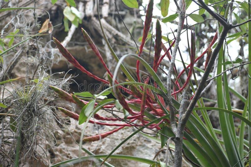 Экзотический полевой цветок, Варадеро, Куба стоковые фото