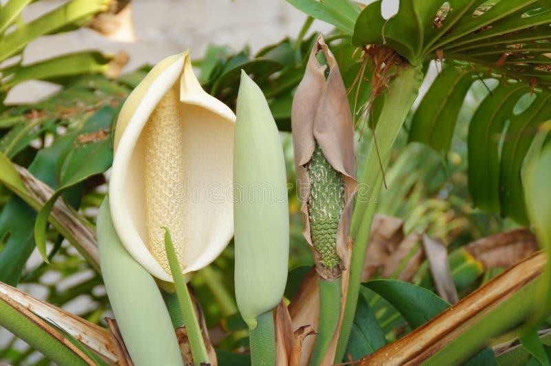 Экзотический цветок растет в ботаническом саду на испанском острове Тенерифе в летний теплый солнечный день стоковое фото rf