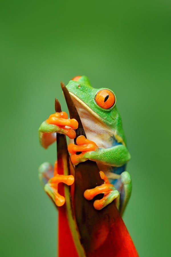 Экзотическое животное от Центральной Америки, красного цветка Красно-наблюданная древесная лягушка, callidryas Agalychnis, животн стоковые фотографии rf