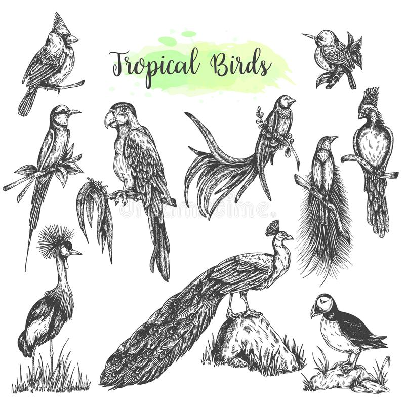 Экзотической тропической попугай вектора птиц нарисованный рукой Сделайте эскиз к ara стиля, павлину, кардинальному вектору изоли бесплатная иллюстрация