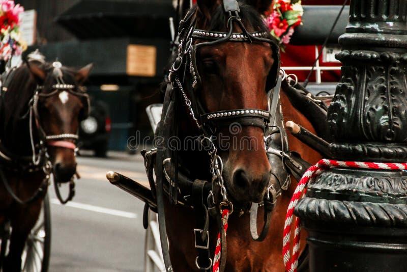 Экипажи Central Park лошади в Нью-Йорке стоковое фото