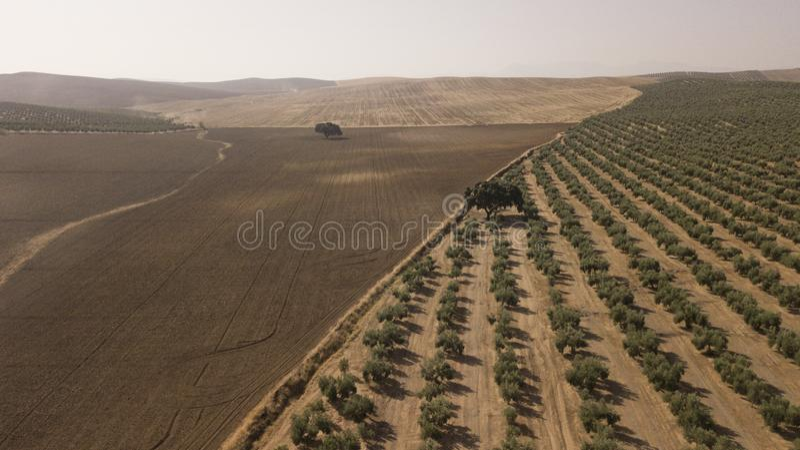 Экологическое культивирование оливковых дерев в провинции Jaen стоковое фото rf
