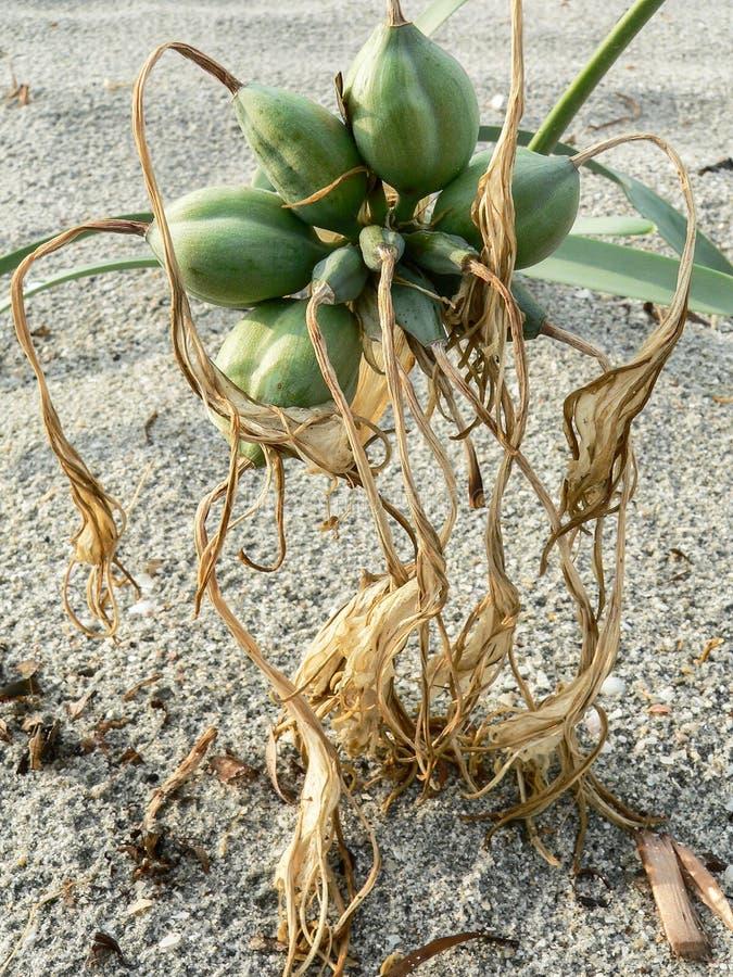 экосистемы Прибрежные песчанные дюны стоковые фото