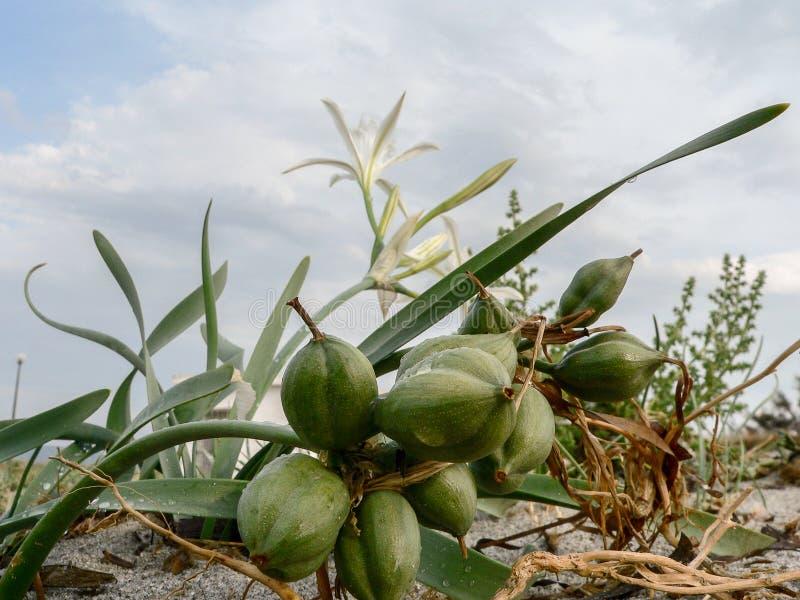 экосистемы Прибрежные песчанные дюны стоковые изображения