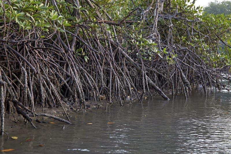 Экосистемы Таиланд мангров стоковая фотография
