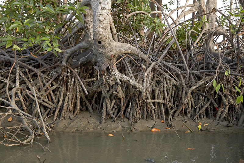 Экосистемы Таиланд мангров стоковые изображения rf