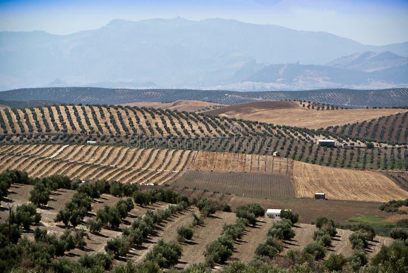 Экологическое культивирование оливковых дерев в провинции Jaen стоковые фото