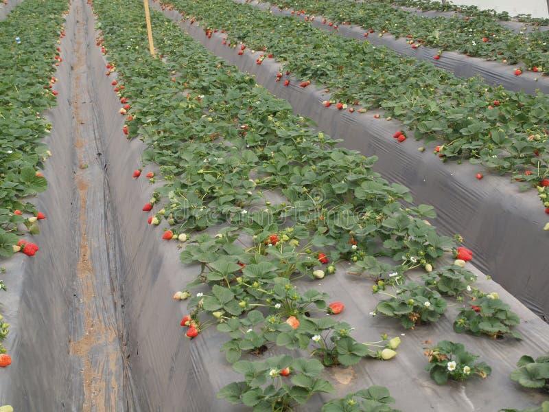 Экологичность плодоовощей Израиля Arava парника клубники стоковая фотография rf