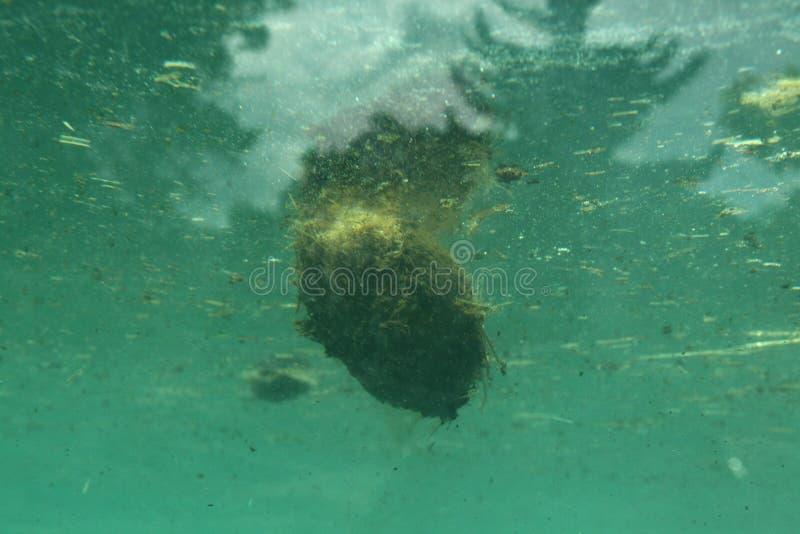 Экскременты бегемота (amphibius бегемота) стоковая фотография