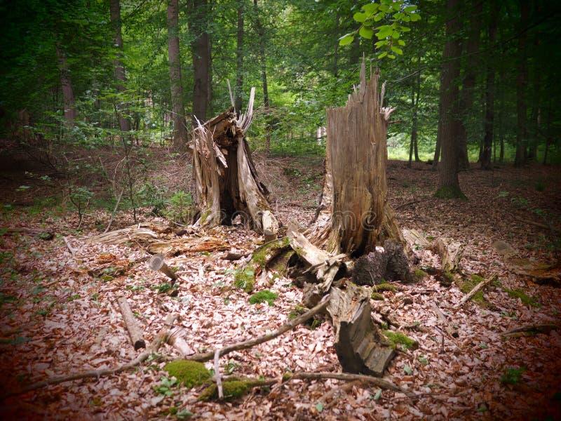 Эксцентричные и сломленные пни дерева в forrest после шторма стоковая фотография rf
