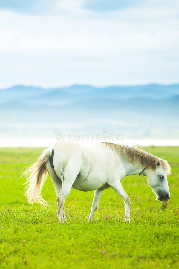 Элегантная белая лошадь идя в зеленое поле в весеннем времени стоковое фото rf