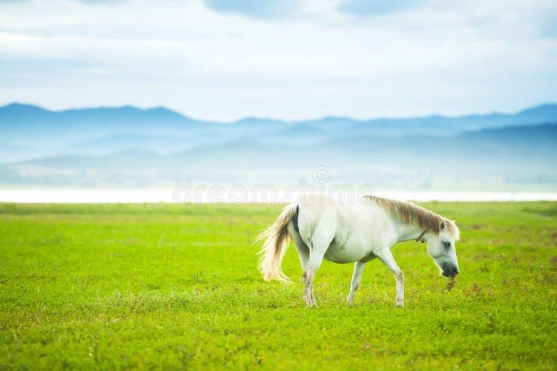 Элегантная белая лошадь идя в зеленое поле в весеннем времени стоковое фото