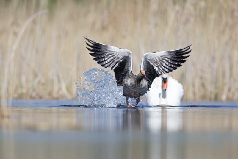 Элегантное olor Cygnus безмолвного лебедя атакуя гусыню greylag в воде стоковые изображения rf