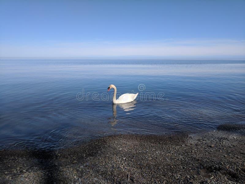 Элегантный лебедь стоковая фотография rf