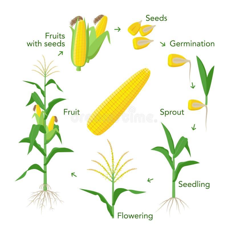 Элементы выращивания растения маиса infographic от семян к плодам, зрелым ушам мозоли Саженец, прорастание, засаживая иллюстрация штока