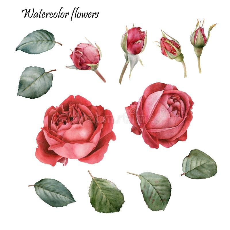 элементы конструкции флористические Цветки установленные красных роз акварели иллюстрация вектора
