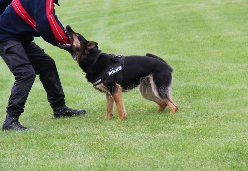 Эльзасская полицейская собака стоковые фото