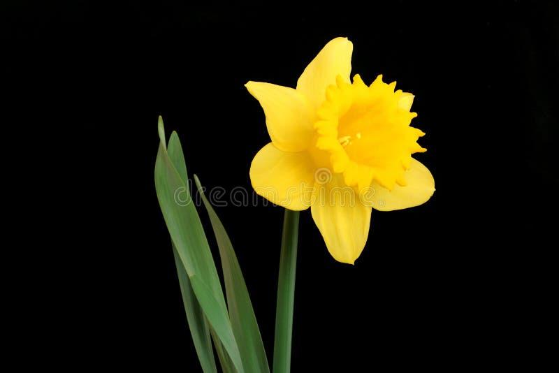 эмблема вэльс daffodil стоковое изображение rf