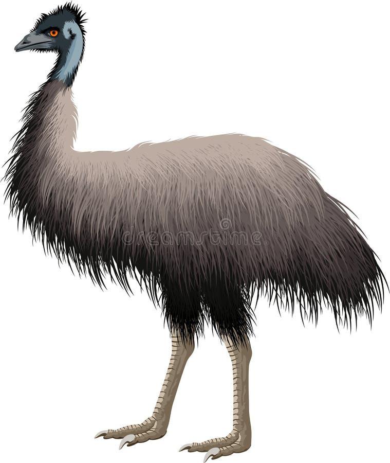 Эму страуса вектора австралийский изолированный на белизне иллюстрация штока