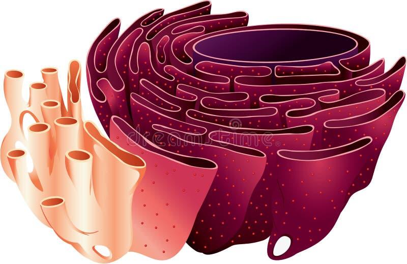 Эндоплазменный ретикулум иллюстрация вектора