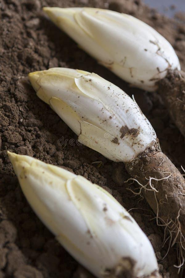 Эндивии /Chicory, который выросли в почве стоковое фото rf