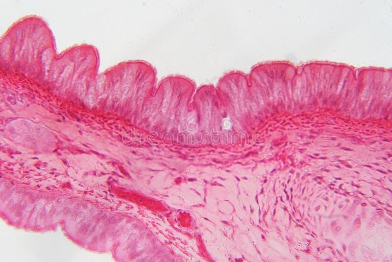Эпителий Pseudostratified тип эпителия то стоковая фотография