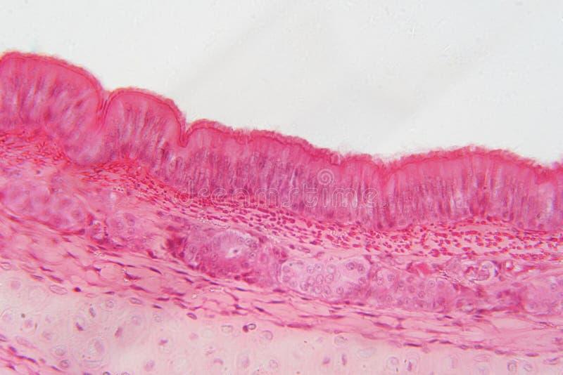 Эпителий Pseudostratified тип эпителия то стоковое изображение rf