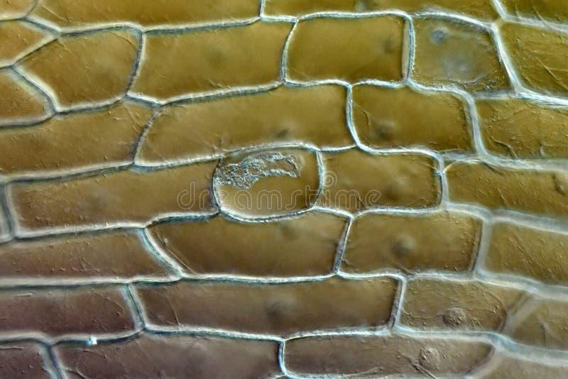 Эпидермис масштаба шарика лука стоковое фото