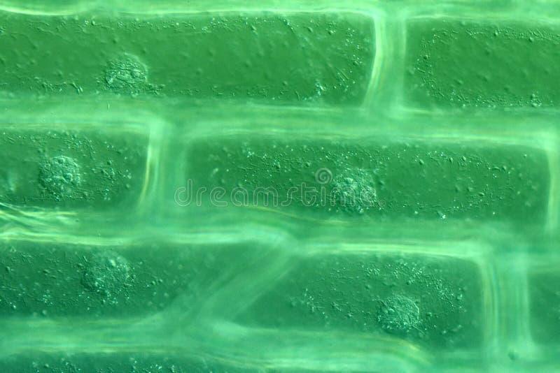 Эпидермис масштаба шарика лука стоковое фото rf