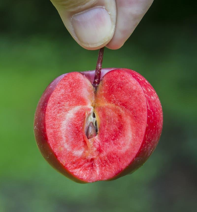 Эра Редлоу, ела яблочный малус одомашка с красной плотью стоковые фото
