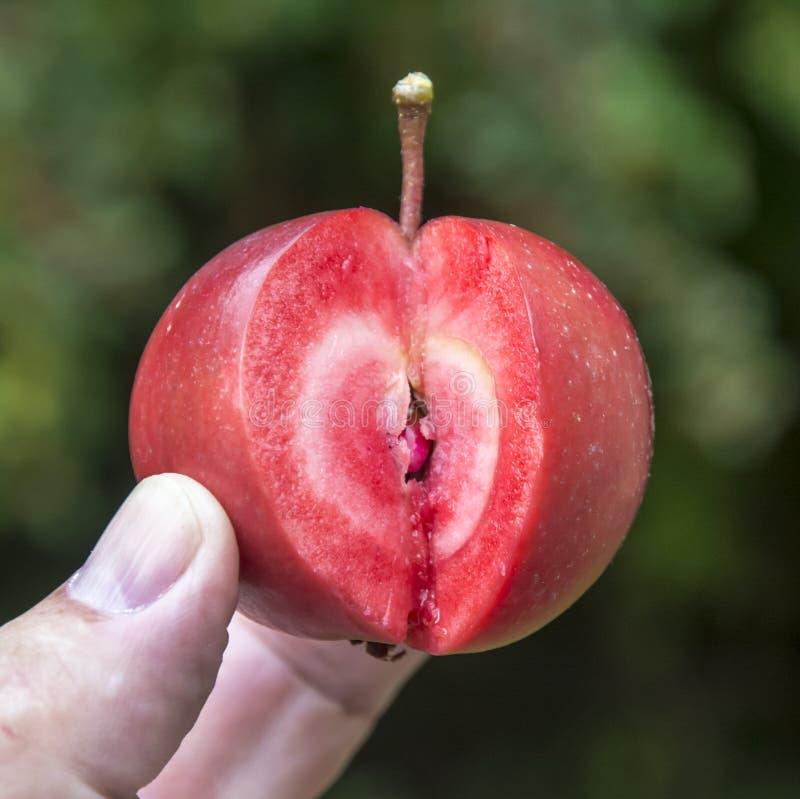 Эра Редлоу, ела яблочный малус одомашка с красной плотью стоковые изображения rf