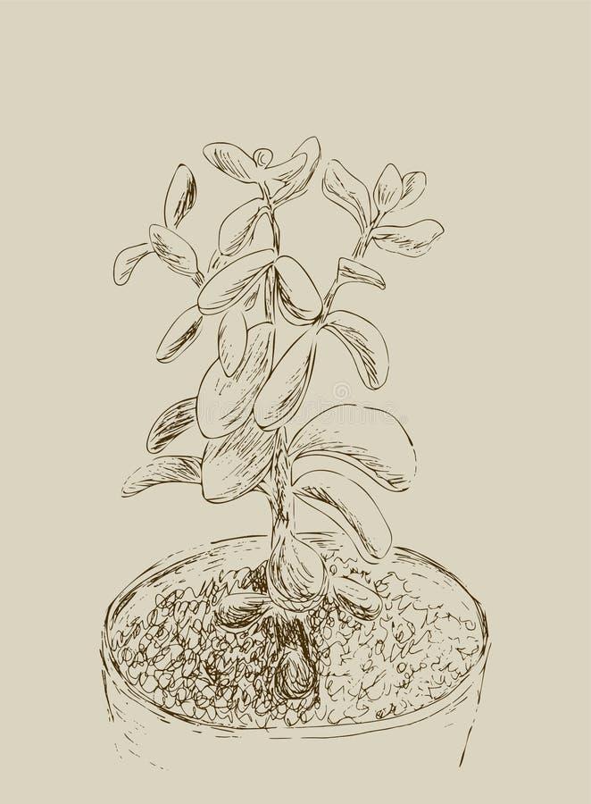 Эскиз нарисованный рукой Succulent Ovata Crassula завода дома, завод нефрита Vector иллюстрация дерева денег в изолированном цвет иллюстрация вектора