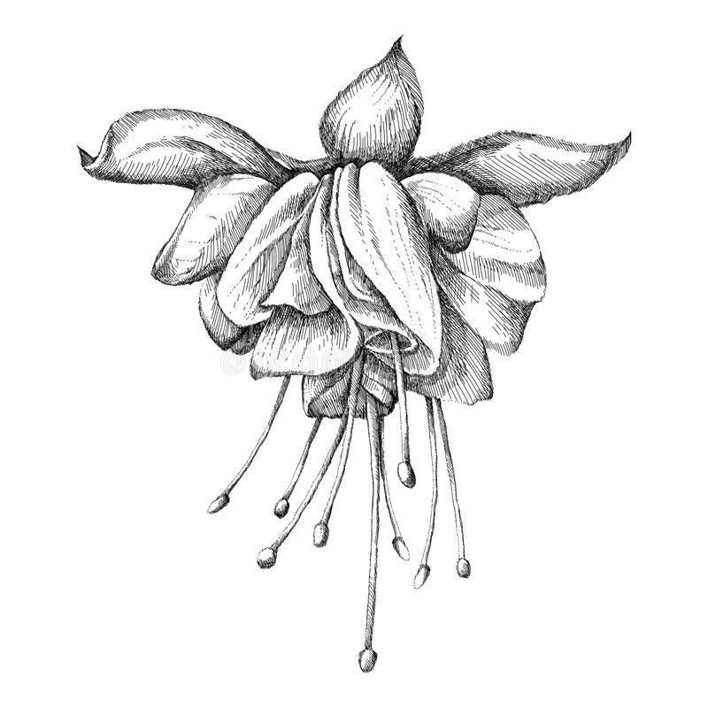 Эскиз руки вектора вычерченный детальной головы цветка фуксии в черноте изолированной на белой предпосылке Тропическая декоративн бесплатная иллюстрация