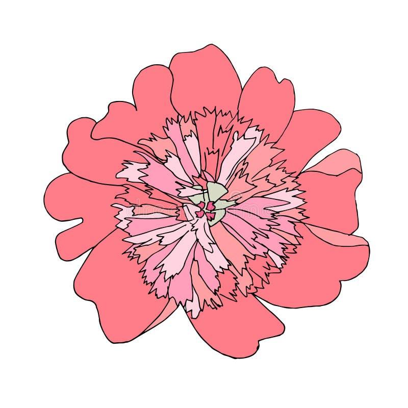 Эскиз руки цветка пиона вычерченный розовый Запас элемента дизайна плана цветка тонкий черный иллюстрация штока