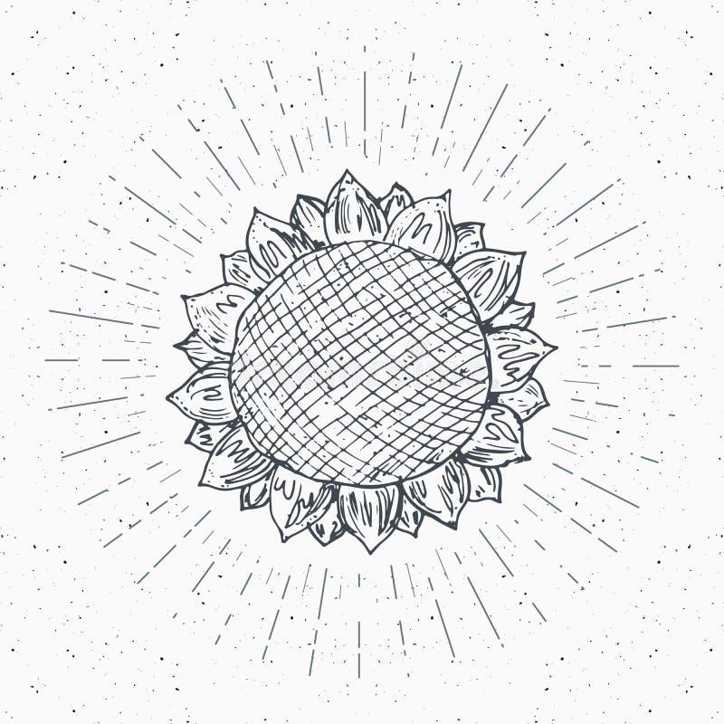 Эскиз солнцецвета, винтажный ярлык, рука нарисованный grunge текстурировал значок, ретро шаблон логотипа, иллюстрацию вектора диз бесплатная иллюстрация